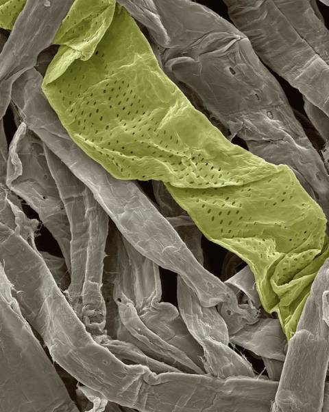 Toilet Paper Photograph - Cellulose Fibres In Toilet Paper by Dennis Kunkel Microscopy/science Photo Library