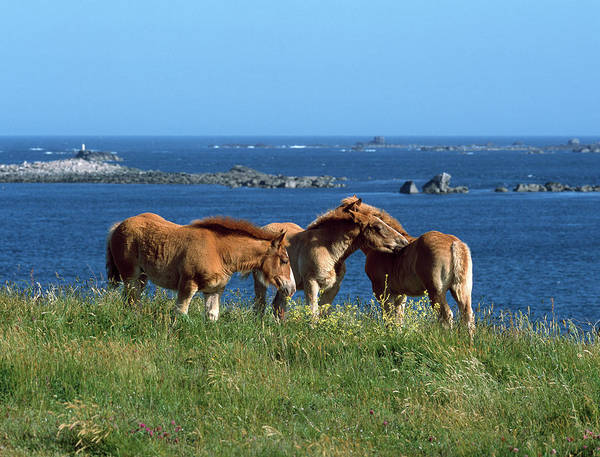 Working Animals Photograph - Celtic Horses Standing On Shore by Animal Images