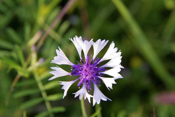 Annual Photograph - Centaurea Cyanus by Trish Drury