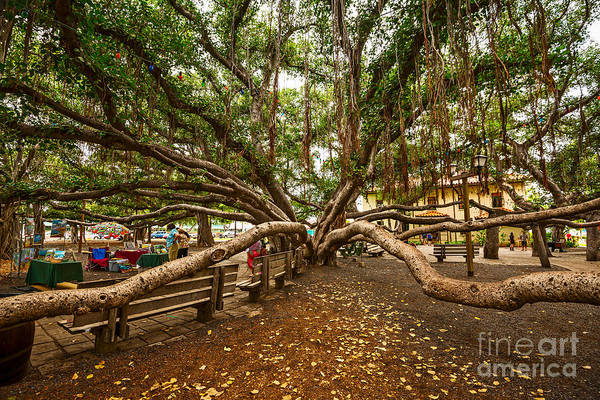 Indian Banyan Photograph - Center Court - Banyan Tree Park In Maui. by Jamie Pham