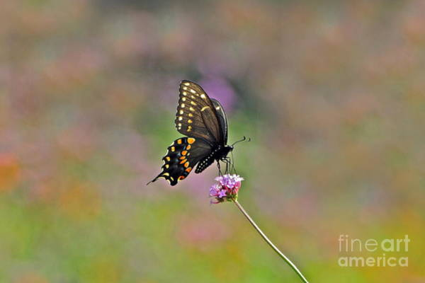 Photograph - Center Stage Swallowtail And Purpletop by Byron Varvarigos