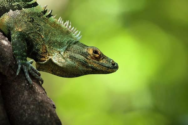 Green Iguana Wall Art - Photograph - Central American Green Iguana by Paul D Stewart