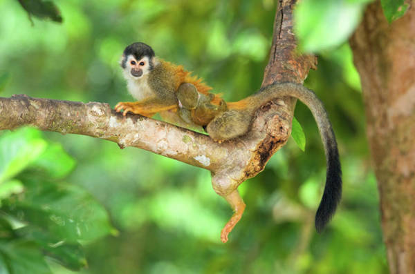 Squirrel Monkey Wall Art - Photograph - Central American Squirrel Monkey by Andres Morya Hinojosa