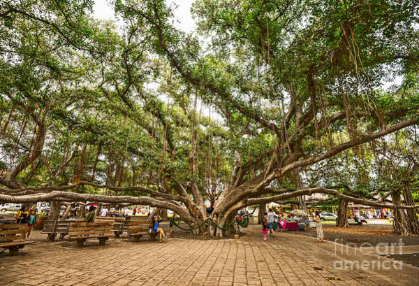 Indian Banyan Photograph - Central Court - Banyan Tree Park In Maui. by Jamie Pham