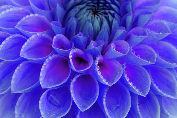 Drops Of Water Photograph - Centre Of Blue And Purple Dahlia Flower by Rosemary Calvert