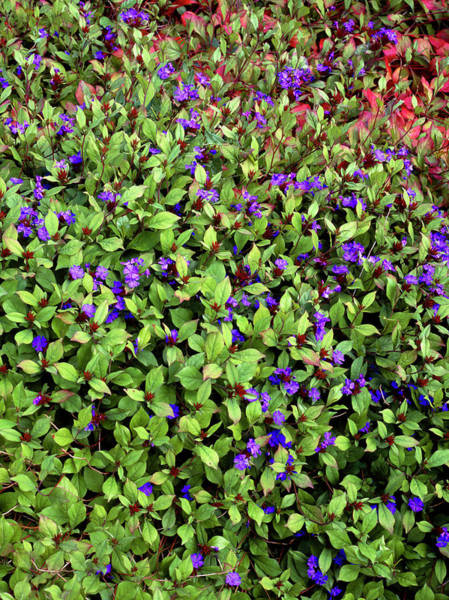Horticulture Photograph - Ceratostigma Plumbaginoides by Geoff Kidd/science Photo Library