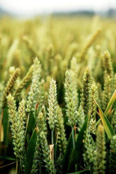 Wall Art - Photograph - Cereal Crop by Christophe Vander Eecken/reporters/science Photo Library