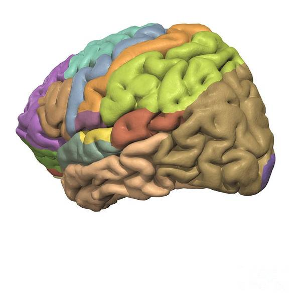 Motor Cortex Photograph - Cerebral Association Areas by Medical Images, Universal Images Group