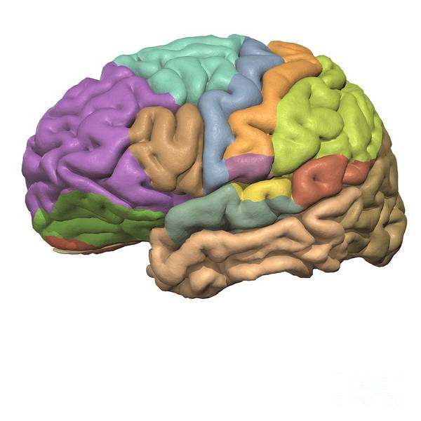 Motor Cortex Photograph - Cerebral Association Areas W by Medical Images, Universal Images Group