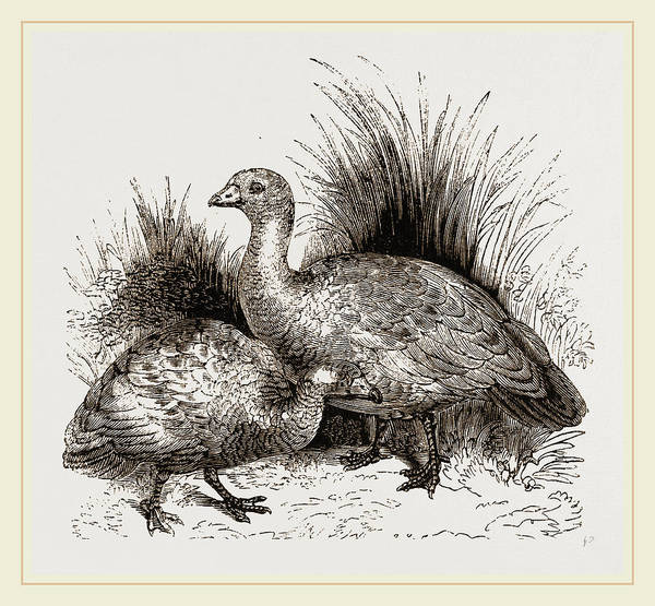 Goose Drawing - Cereopsis Geese by Litz Collection