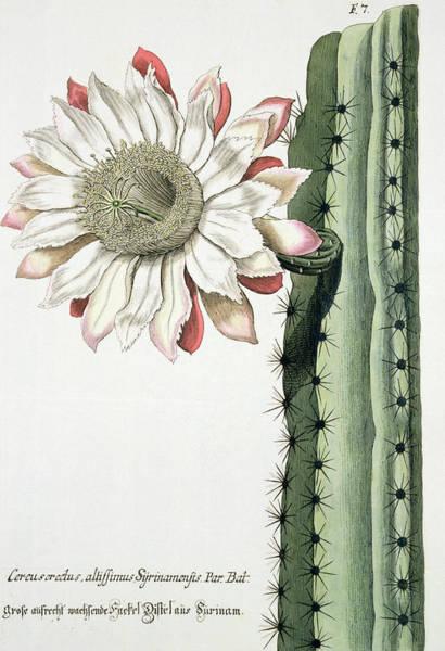 Exotic Drawing - Cereus Erectus Altissimus Syrinamensis by Johann Wilhelm Weinman