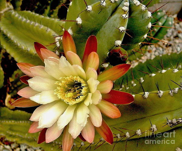 Photograph - Cereus Nightbloomer by Marilyn Smith