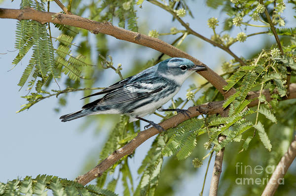 Wall Art - Photograph - Cerulean Warbler by Anthony Mercieca