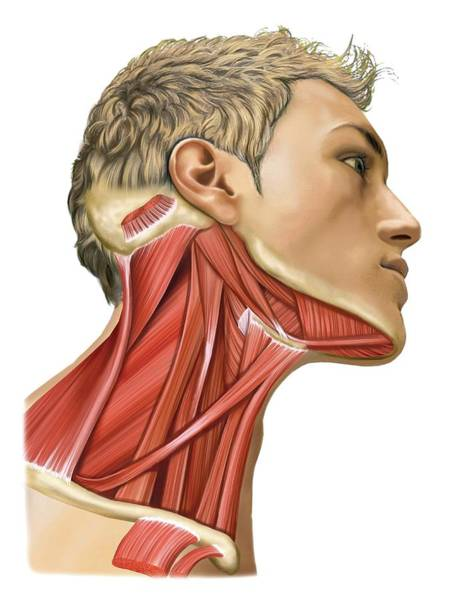 Biological Photograph - Cervical Muscles by Asklepios Medical Atlas