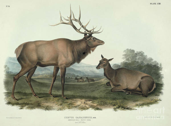 Drawing - Cervus Canadensis by Celestial Images