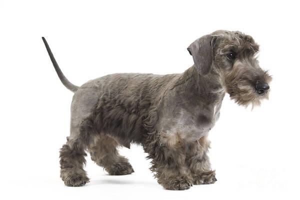 Photograph - Cesky Terrier Puppy by Jean-Michel Labat