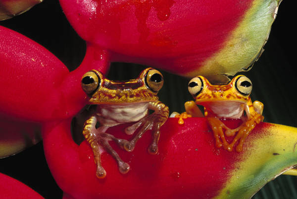 Photograph - Chachi Tree Frog Pair by Pete Oxford