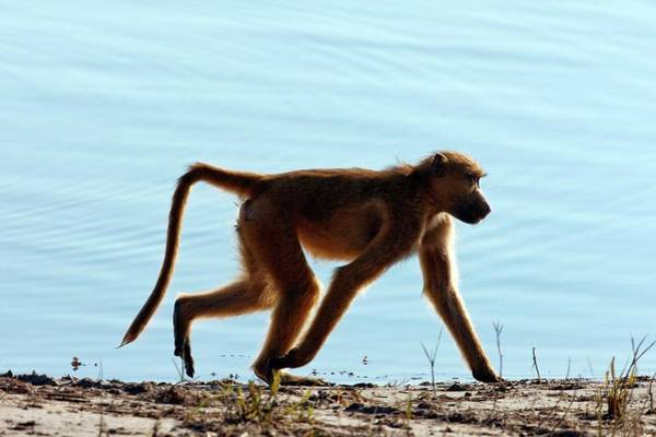 Baboons Photograph - Chacma Baboon by Steve Allen/science Photo Library