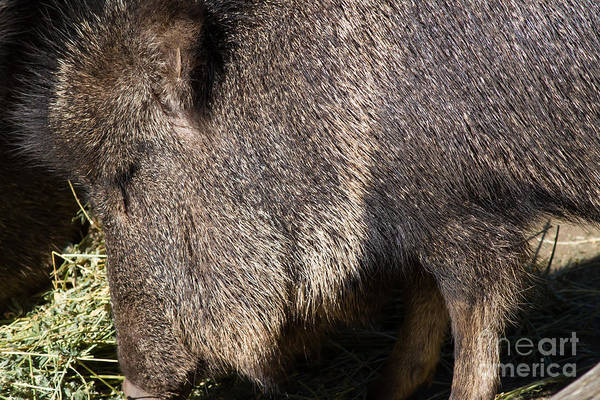 Photograph - Chacoan Peccary 7d9034 by Wingsdomain Art and Photography