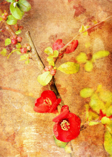 Digital Art - Chaenomeles by Helene U Taylor