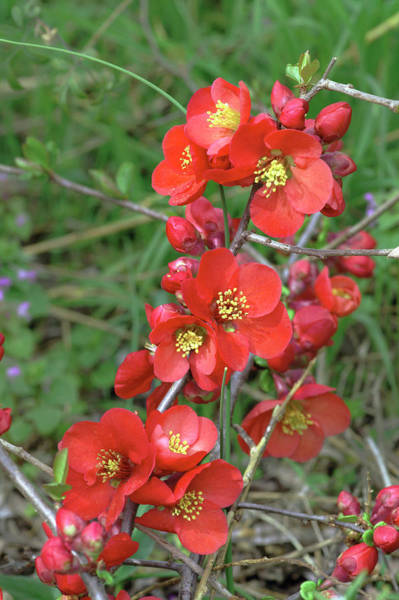 Quince Photograph - Chaenomeles X Superba 'nicoline' by Brian Gadsby/science Photo Library