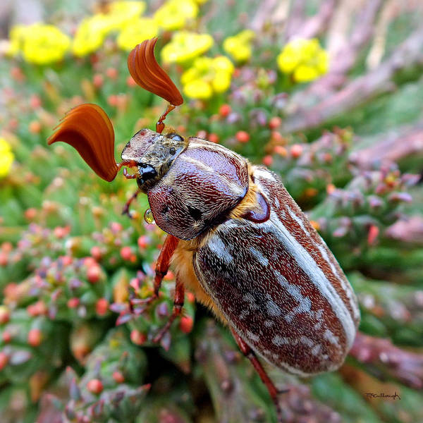 Photograph - Chafer Beetle On Medusa Succulent 2 by Duane McCullough