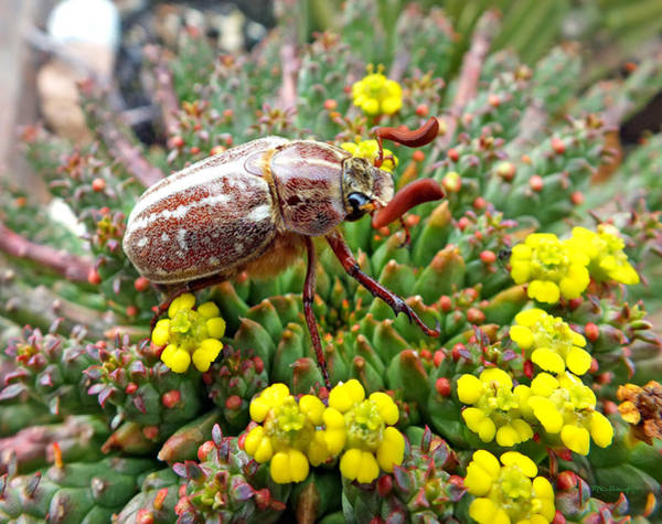 Photograph - Chafer Beetle On Medusa Succulent by Duane McCullough