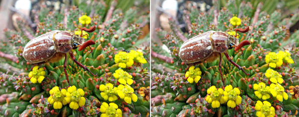Photograph - Chafer Beetle On Medusa Succulent In 3d Stereo by Duane McCullough