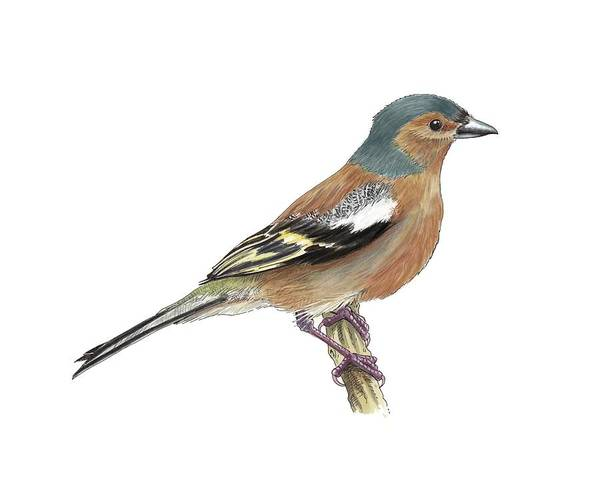 Wall Art - Photograph - Chaffinch, Artwork by Science Photo Library