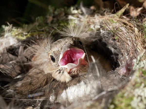 Wall Art - Photograph - Chaffinch Chick by Dr Jeremy Burgess/science Photo Library