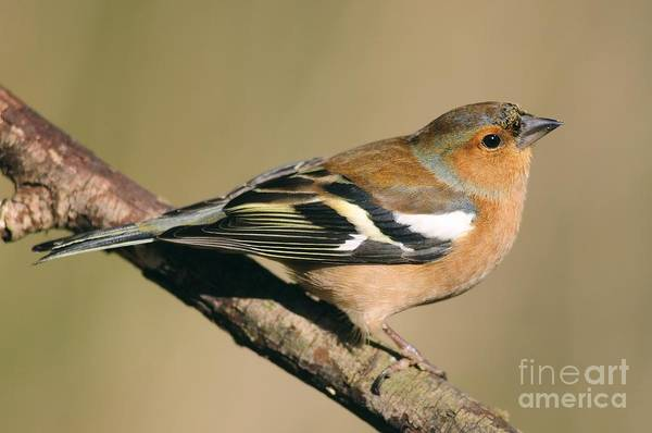 Wall Art - Photograph - Chaffinch by Colin Varndell
