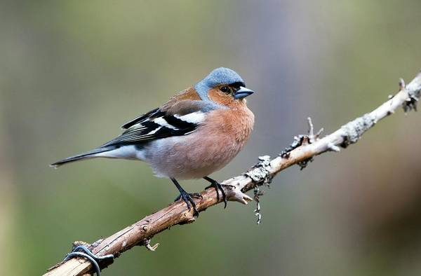 Wall Art - Photograph - Chaffinch by Dr P. Marazzi/science Photo Library