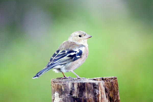 Finch Photograph - Chaffinch (fringilla Coelebs) by John Devries/science Photo Library