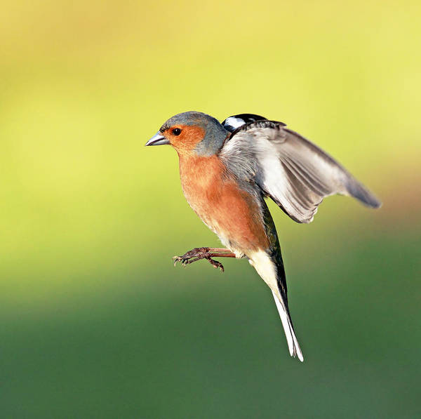 Photograph - Chaffinch by Grant Glendinning