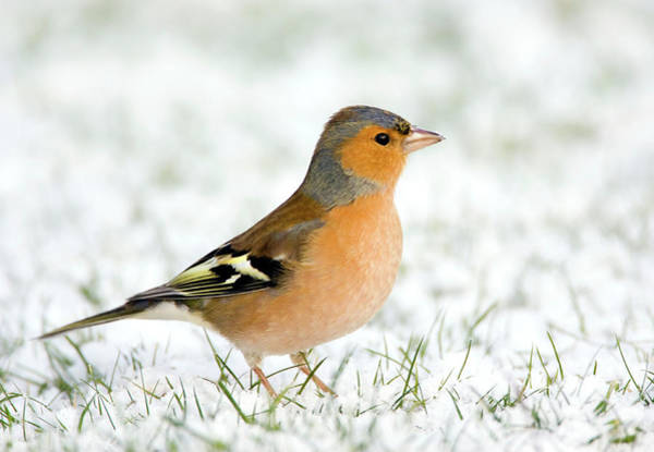 Wall Art - Photograph - Chaffinch by John Devries/science Photo Library