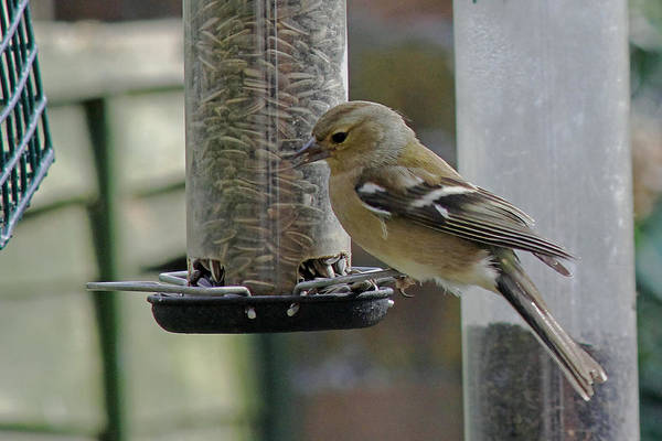 Photograph - Chaffinch by Tony Murtagh