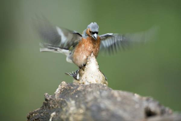 Wall Art - Photograph - Chaffinches Mating by Science Photo Library