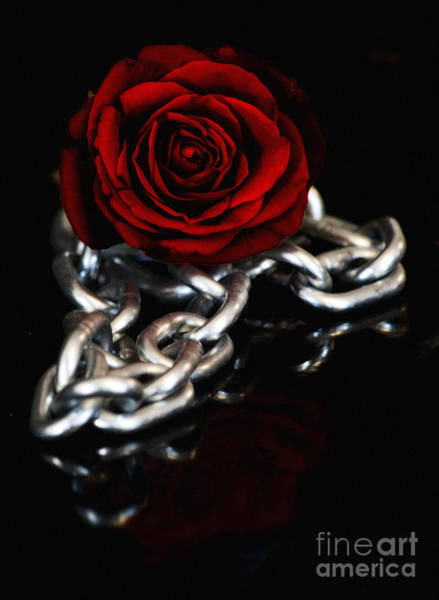 Red Robin Photograph - Chained Dark Red Rose  by Robin Lynne Schwind