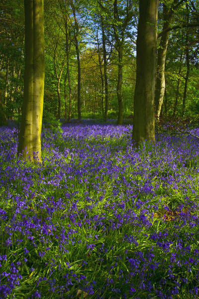 Epping Wall Art - Photograph - Chalet Wood Wanstead Park Bluebells by David French