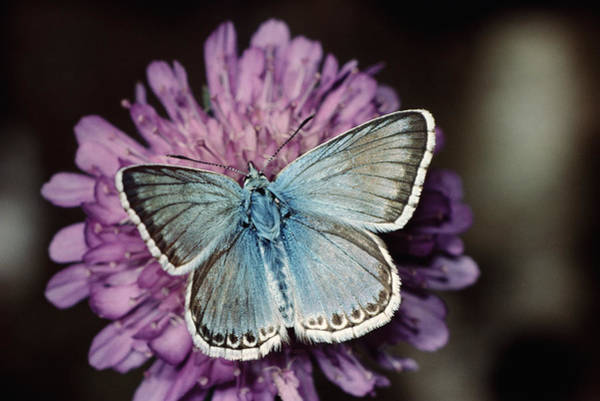 Chalkhill Blue Butterfly (lysandra Coridon), Close-up Art Print by Alan P Barnes