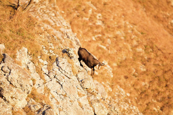Wall Art - Photograph - Chamois On A Steep Incline At Sunset by Raffi Maghdessian