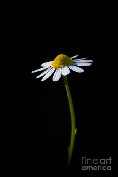 Photograph - Chamomile 2 by Wayne Valler