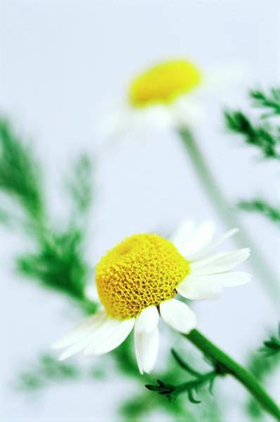 Wall Art - Photograph - Chamomile Flowers by Gustoimages/science Photo Library