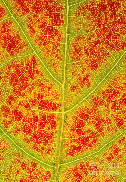 Acer Saccharum Photograph - Changing Cells Of A Sugar Maple Leaf by John Eastcott and Yva Momatiuk