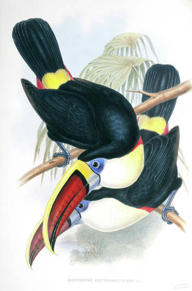 Ramphastidae Photograph - Channel-billed Toucans by Natural History Museum, London/science Photo Library