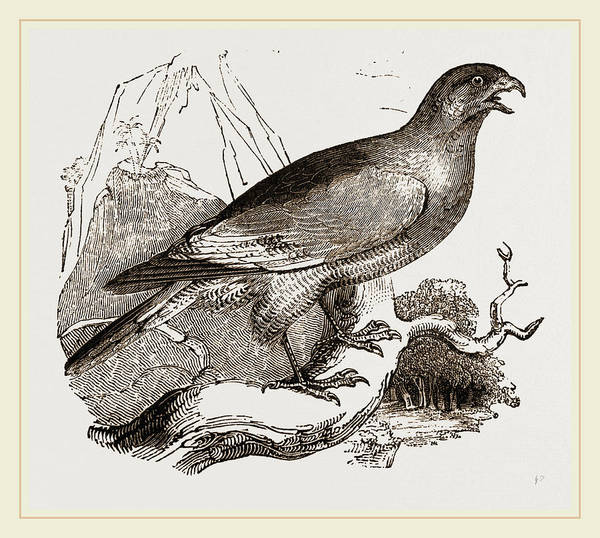 Hawk Drawing - Chanting Hawk by Litz Collection