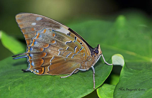 Photograph - Charaxes by Mike Fitzgerald