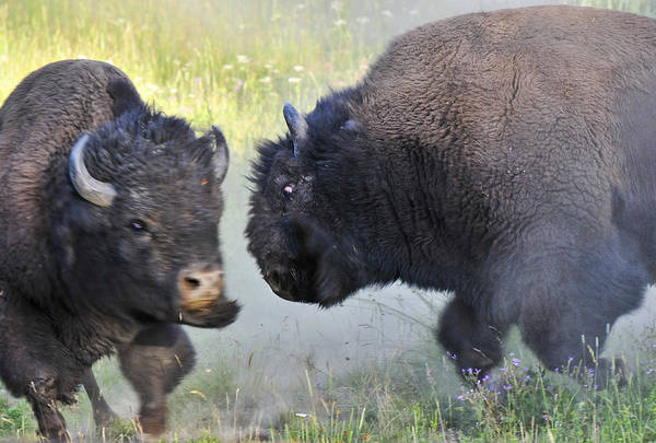 Photograph - Charging Buffalos Fight In Yellowstone by Ginger Wakem