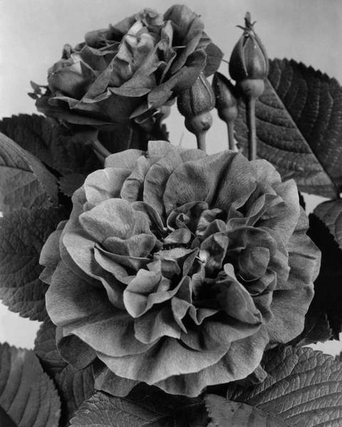 Flower Petals Photograph - Charles Frederic Worth Rose by J. Horace McFarland