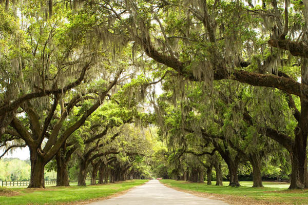 Sc Wall Art - Photograph - Charleston Avenue Of Oaks by Stephanie McDowell